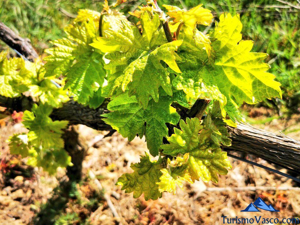 viñedos de la bodega Lozano, visitas guiadas a bodegas de Rioja Alavesa