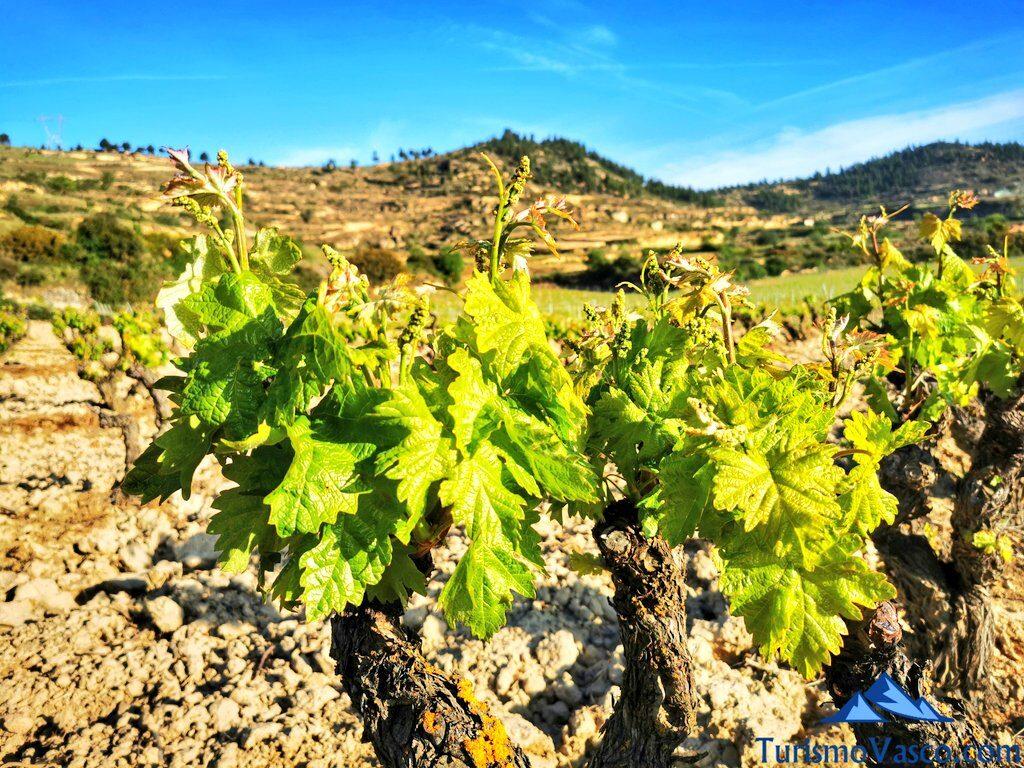 vide de rioja alavesa, visitas guiadas a bodegas de Rioja Alavesa