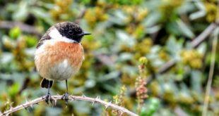 tarabilla comun, avistamiento de aves en Getxo, avistamiento de aves en Euskadi, birding euskadi