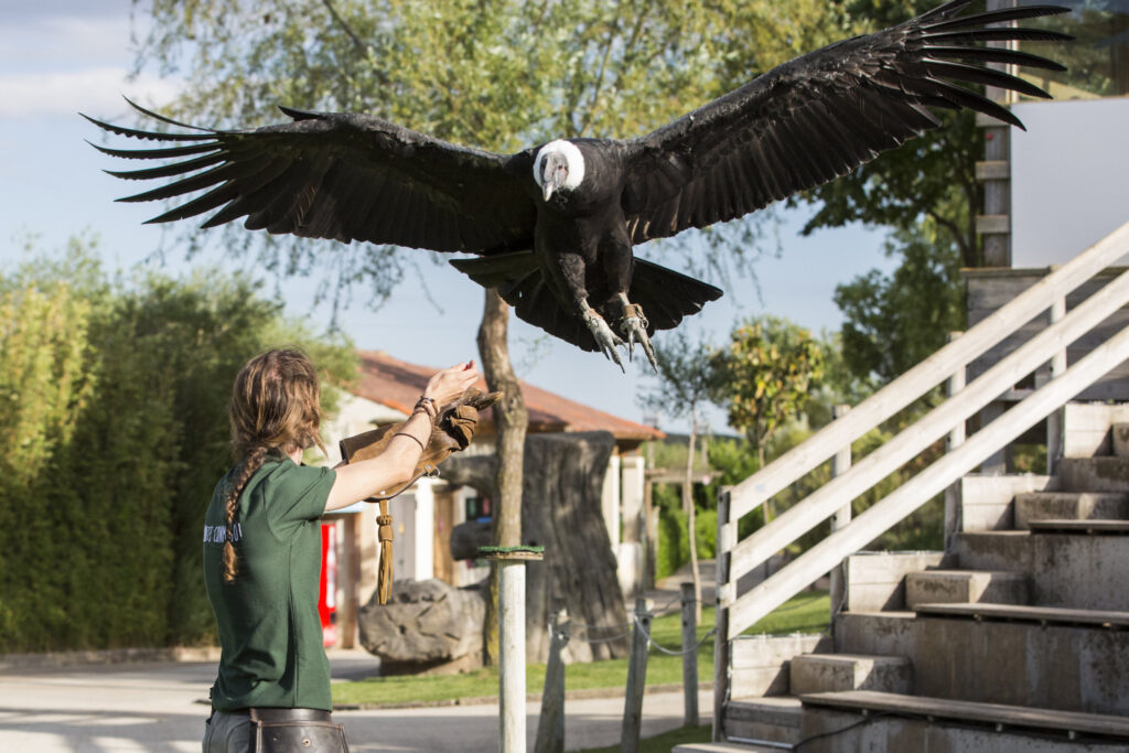 Condor espectaculo rapaces, parque Senda Viva, qué ver en Arguedas, qué ver en las Bardenas