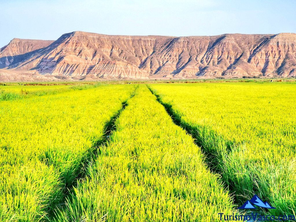 campos de arroz en las bardenas, qué ver en las bardenas, qué ver en arguedas
