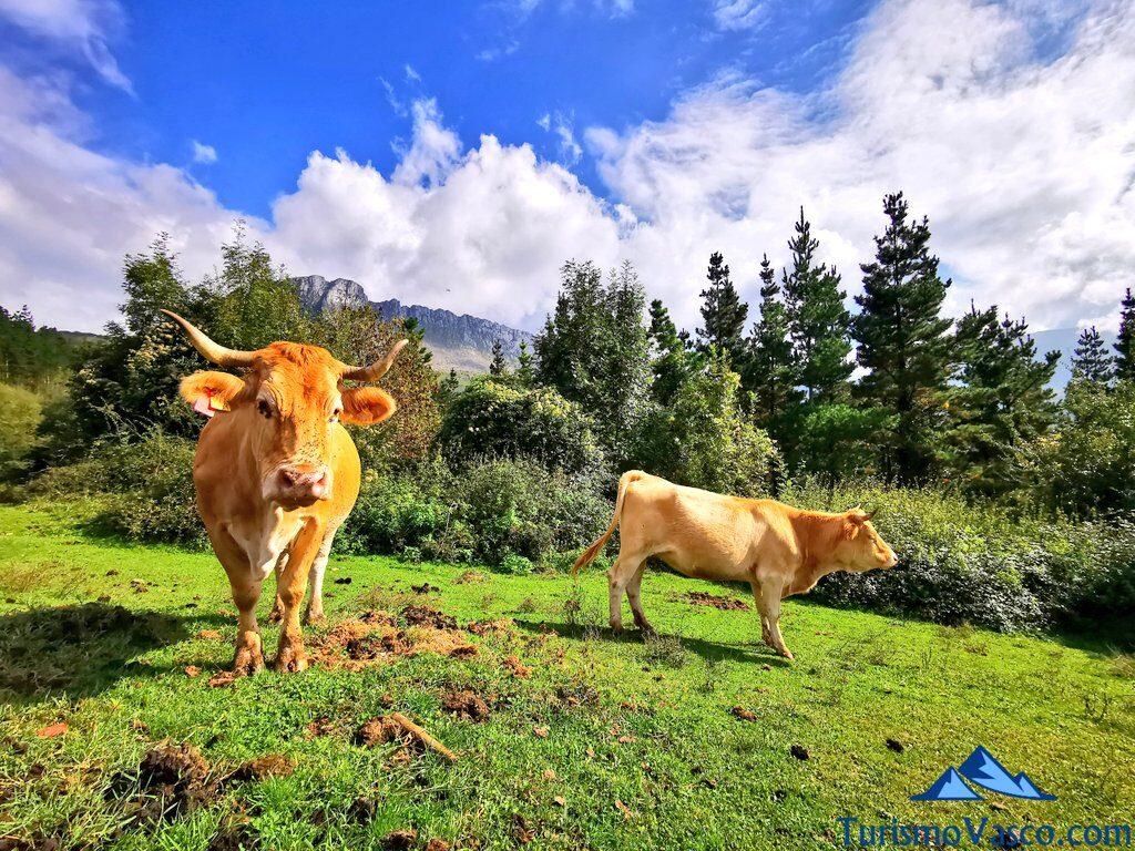 vacas en Orozko, ruta a la cascada de Aldabide de orozko