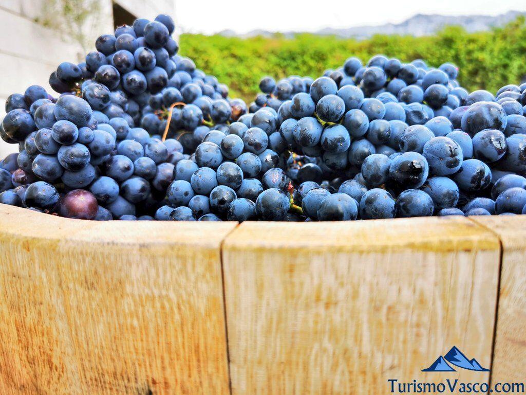 barrica llena de uva, vendimia en Rioja Alavesa, bodegas de Rioja Alavesa