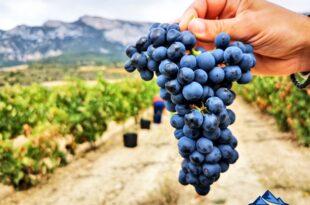 experiencia de vendimia en Rioja Alavesa, vendimia en Rioja Alavesa, bodegas de Rioja Alavesa