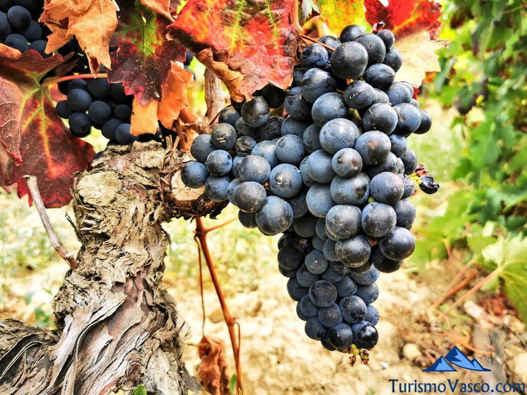racimo de uva, vid, viñedo, vendimia en Rioja Alavesa, bodegas de Rioja Alavesa