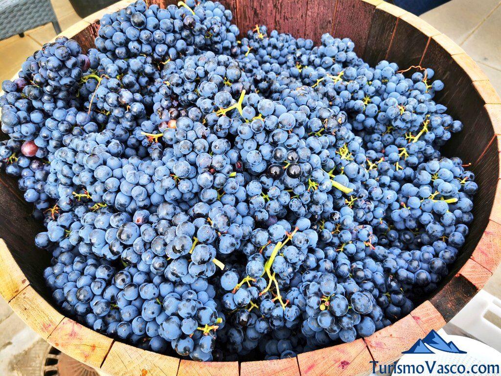 uvas recogidas en vendimia, vendimia en Rioja Alavesa, bodegas de Rioja Alavesa
