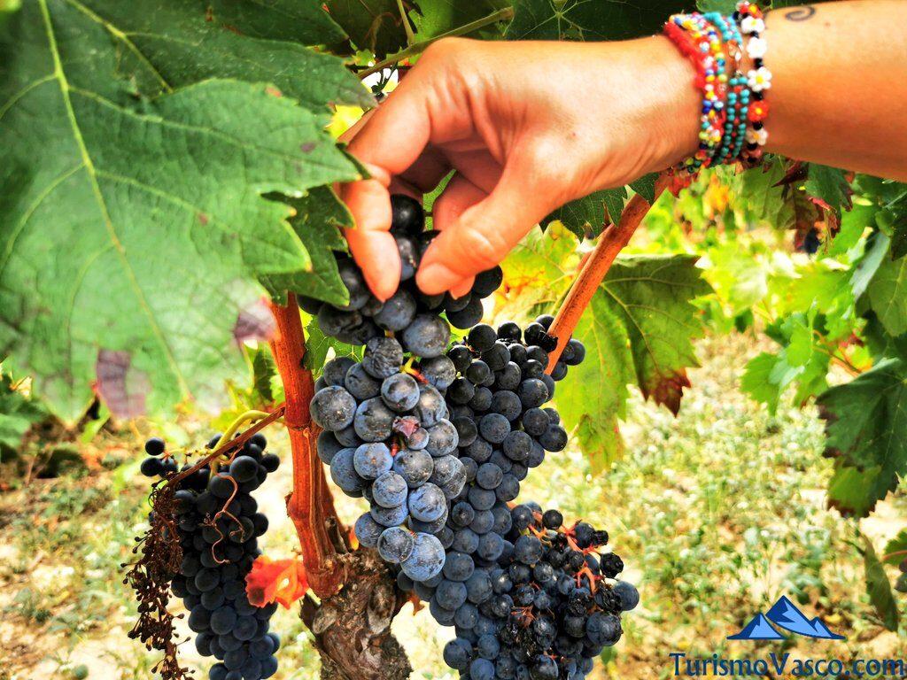 vendimiando, vendimia en Rioja Alavesa, bodegas de Rioja Alavesa